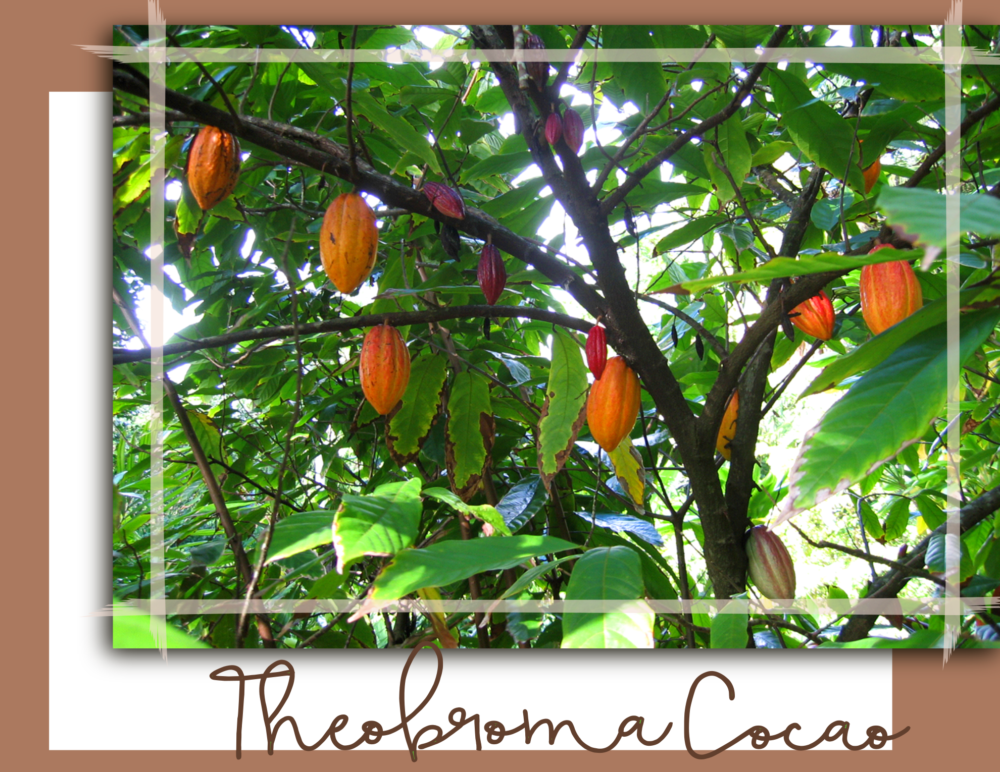 "Theobroma, the ""Food of the Gods"""